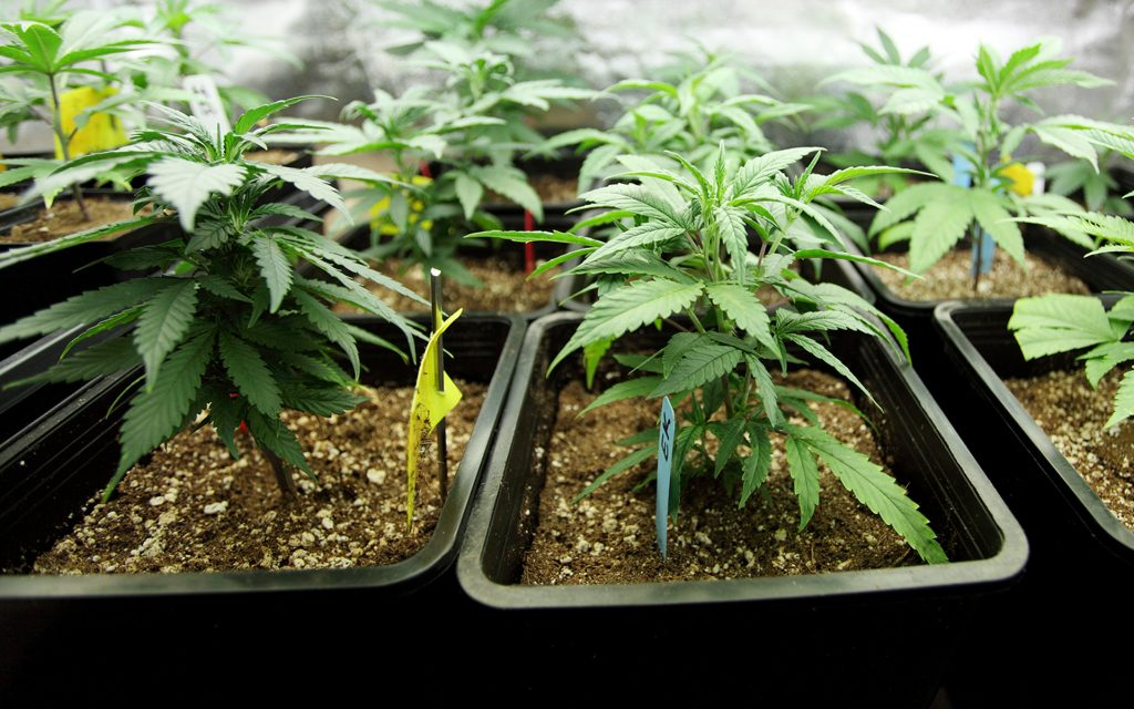 Indica, Sativa, and Hybrids - What's the Difference? — CBD ...